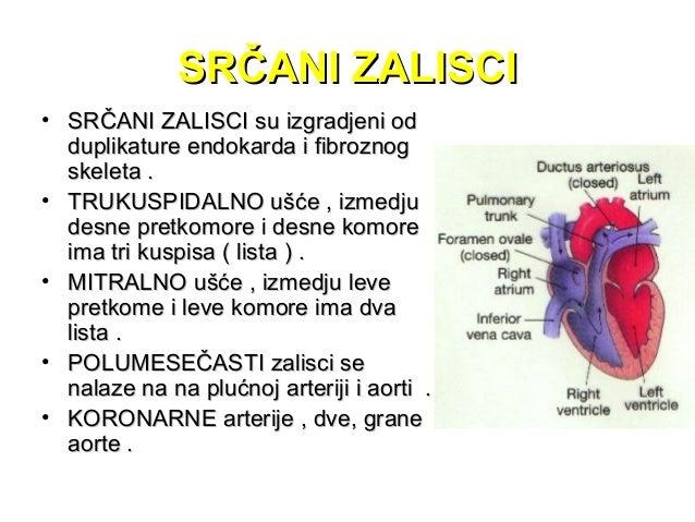 • Obe su grane početnog dela aorte ( aorta ascedens )Vene srca obrazuju venski srčani sinus ( sinus coronarius ) koji se u...