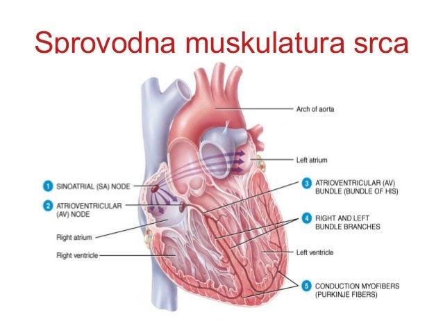 PULS I KRVNI PRITISAKPULS I KRVNI PRITISAK • PULS je posledica istiskivanja krvi u aortu iPULS je posledica istiskivanja k...