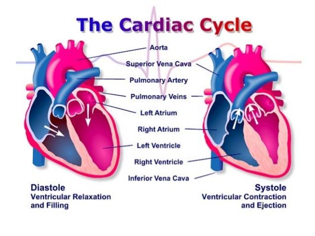 Anatomija srca – poprečni presekAnatomija srca – poprečni presek