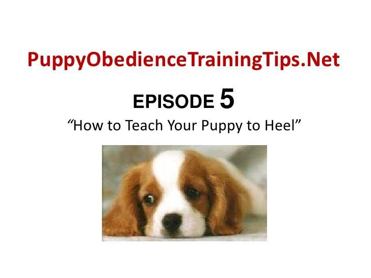 "PuppyObedienceTrainingTips.Net<br />EPISODE 5""How to Teach Your Puppy to Heel""<br />"