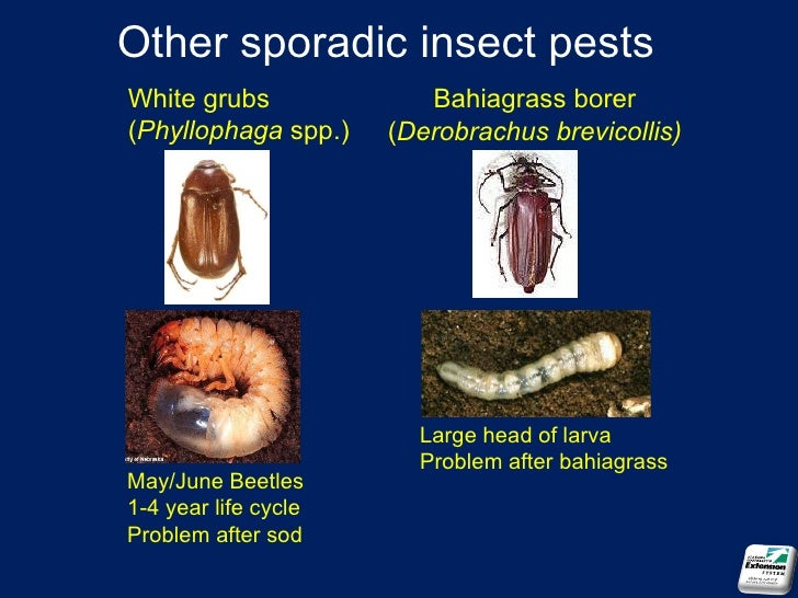 June beetle life cycle