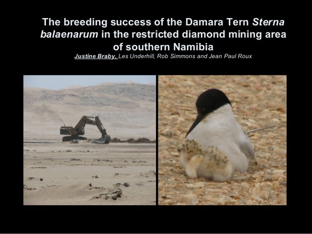 The breeding success of the Damara Tern Sterna balaenarum in the restricted diamond mining area of southern Namibia Justin...
