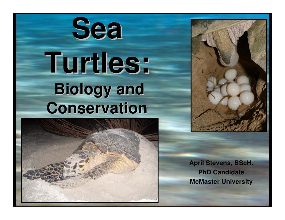 Sea Turtles:  Biology and Conservation                  April Stevens, BScH.                  PhD Candidate               ...