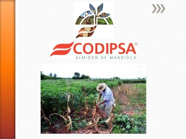 Codipsa Liderando la exportación de Fécula de Mandioca con Responsabilidad Social