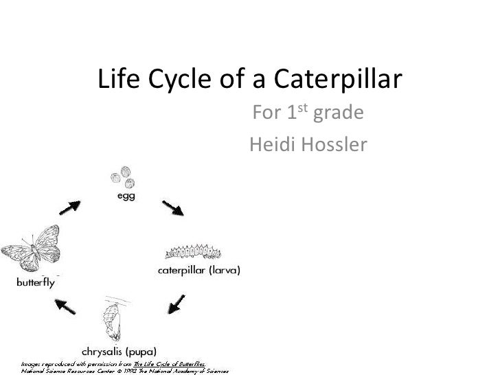 Life Cycle of a Caterpillar             For 1st grade             Heidi Hossler