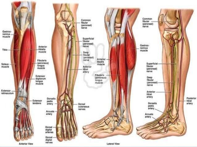Bones lower leg muscles diagram wiring diagram database presentation lower limb 2013 rh slideshare net lower leg muscle and tendon diagram lower leg anatomy ccuart Image collections