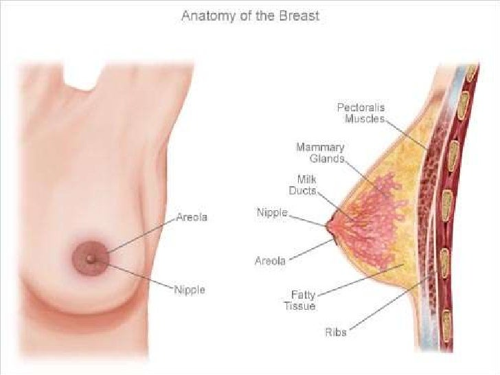 Parts of the boob
