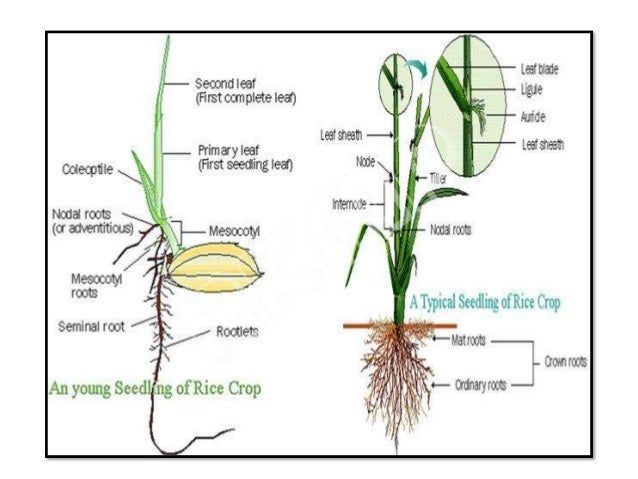 presentation on morphology of rice plant rh slideshare net Label Parts of Wheat Plant System Parts of a Wheat Plant