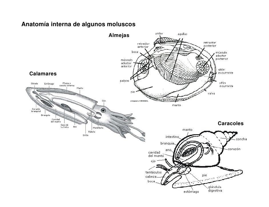 Vistoso Anatomía Interna Camarones Imagen - Imágenes de Anatomía ...