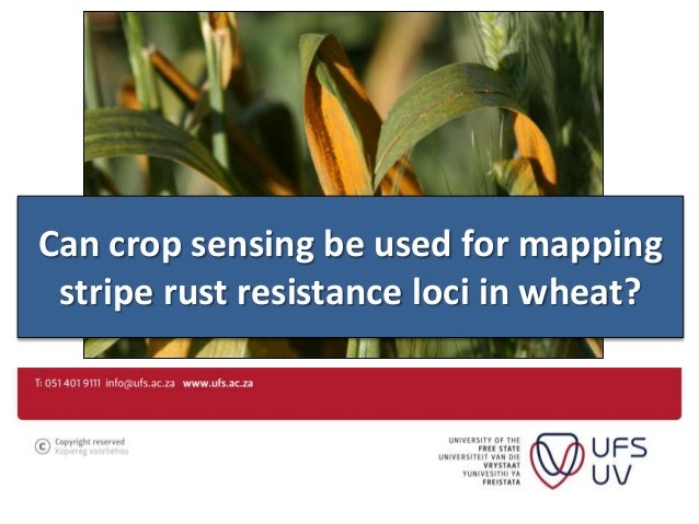 Can crop sensing be used for mapping stripe rust resistance loci in wheat?