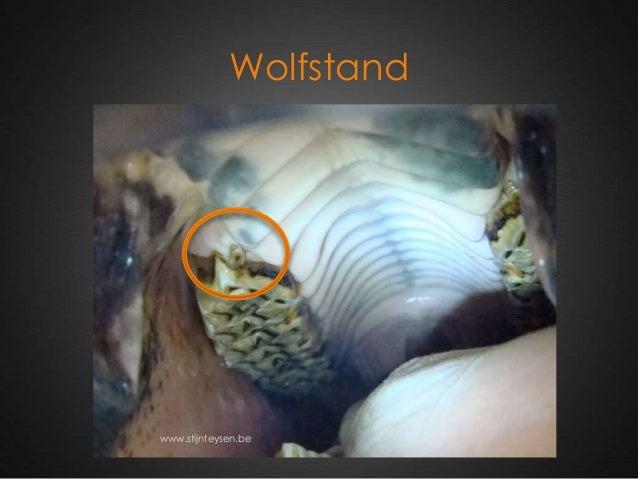 Wolfstand www.stijnteysen.be