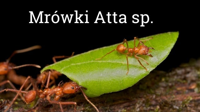 Mrówki Atta sp.