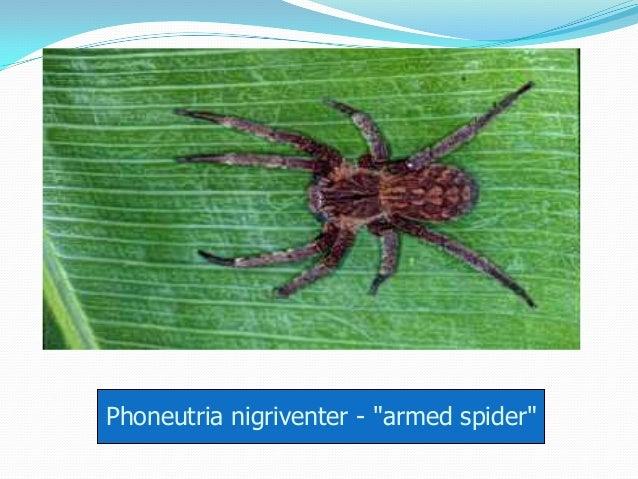 """Phoneutria nigriventer - """"armed spider"""""""