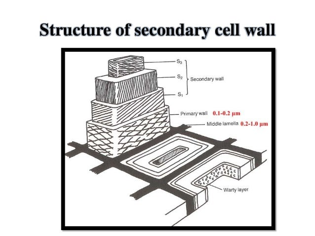 Primary and secondary cell wall 10 ccuart Choice Image