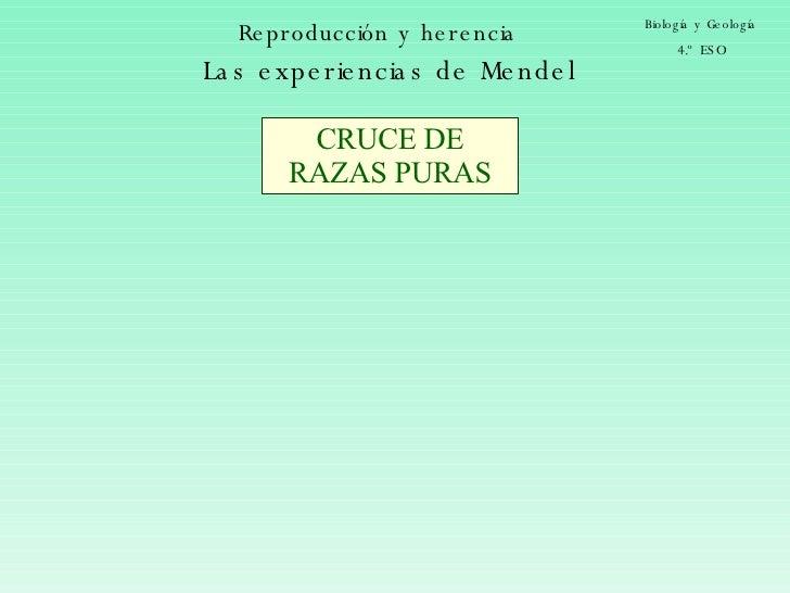 Reproducción y herencia Biología y Geología 4.º ESO Las experiencias de Mendel CRUCE DE RAZAS PURAS