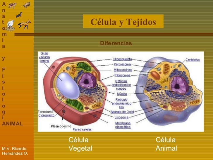 Atractivo Células Y Tejidos Anatomía Imagen - Anatomía de Las ...