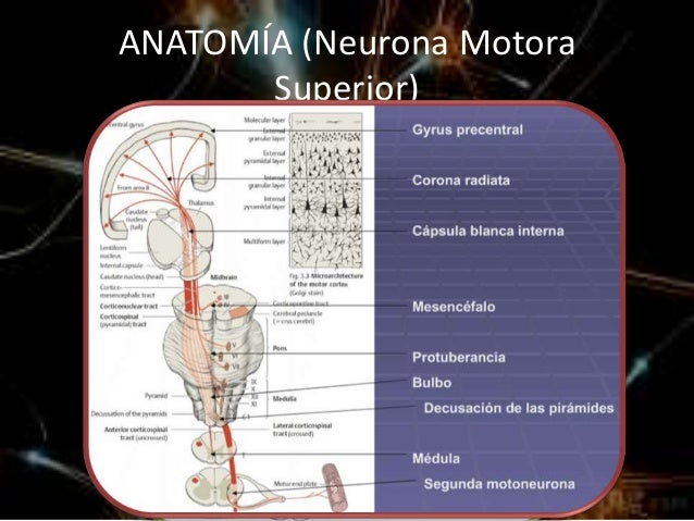 Síndrome de neurona motora superior e inferior