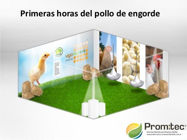 Primeras horas del pollo de engorde                               Soluciones Naturales para Alimentos y Bebidas           ...