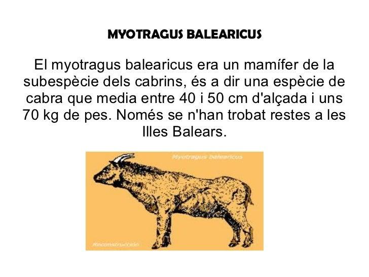 MYOTRAGUS BALEARICUS El myotragus balearicus era un mamífer de la subespècie dels cabrins, és a dir una espècie de cabra q...