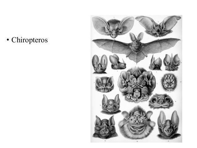 • Chiropteros