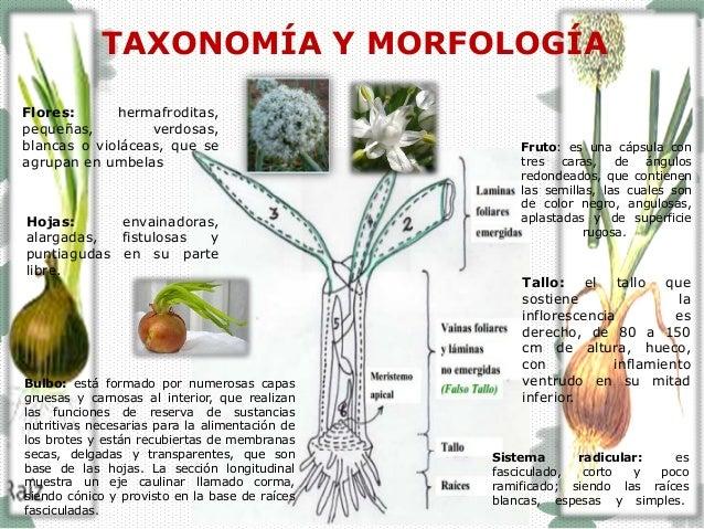 Principales enfermedades en el cultivo de la cebolla - Productos para fumigar ...