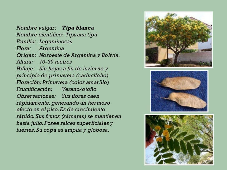 Principales especies de rboles for Fresno caracteristicas