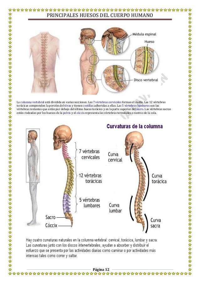 Excepcional Columna Vertebral Esqueleto Humano Festooning - Imágenes ...