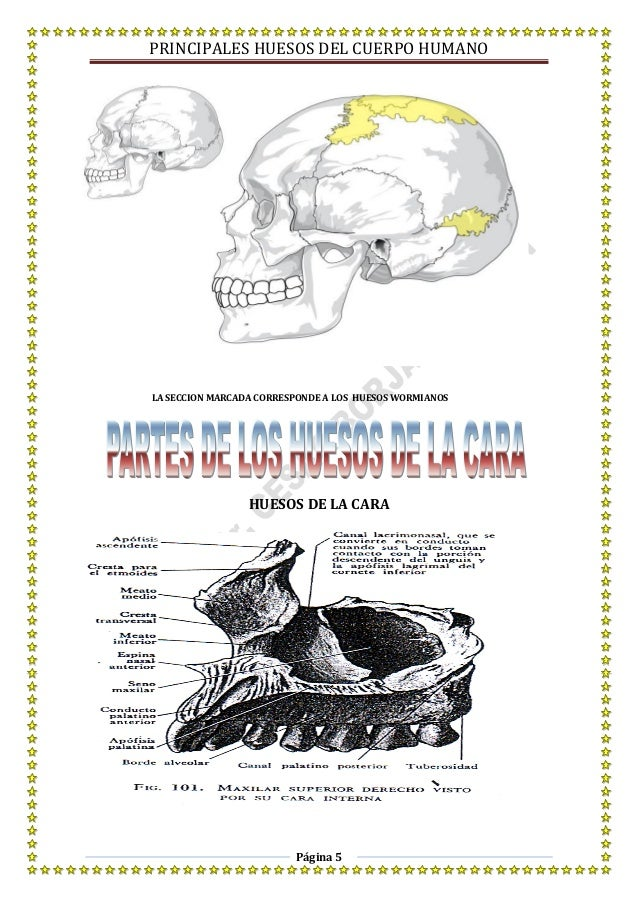 Principales huesos del cuerpo humano