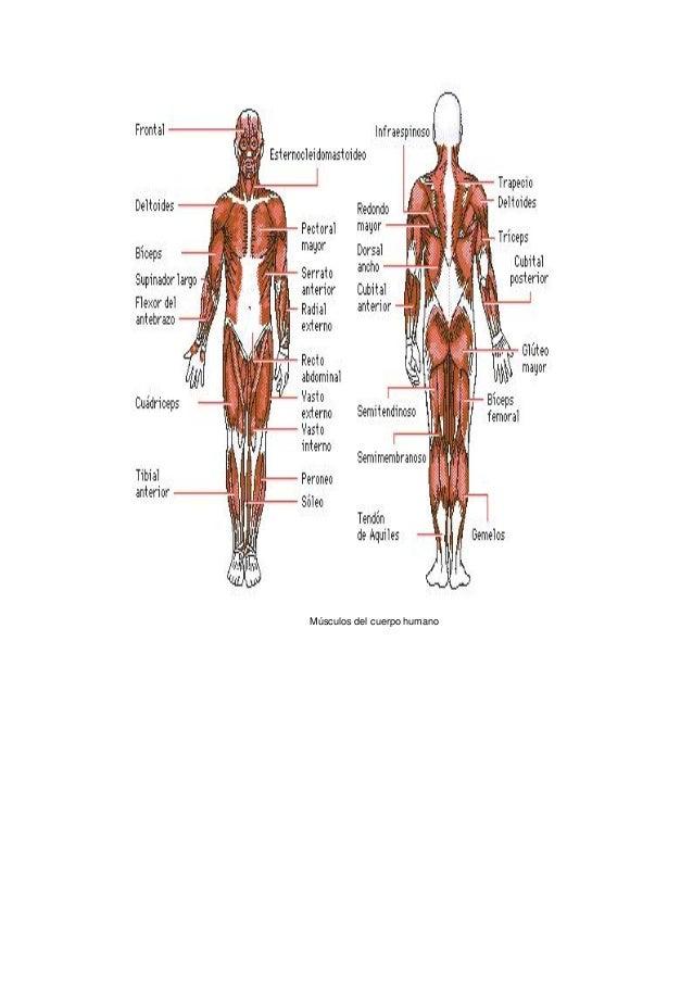 Musculos Del Cuerpo Humano Dibujo. Awesome Transicin Hombre. Por El ...