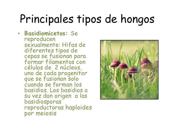 tipos de hongos br basidiomicetos se reproducen sexualmente hifas