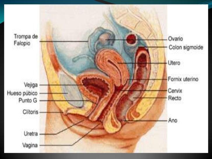 Principios anatomofisiologicos piso pélvico