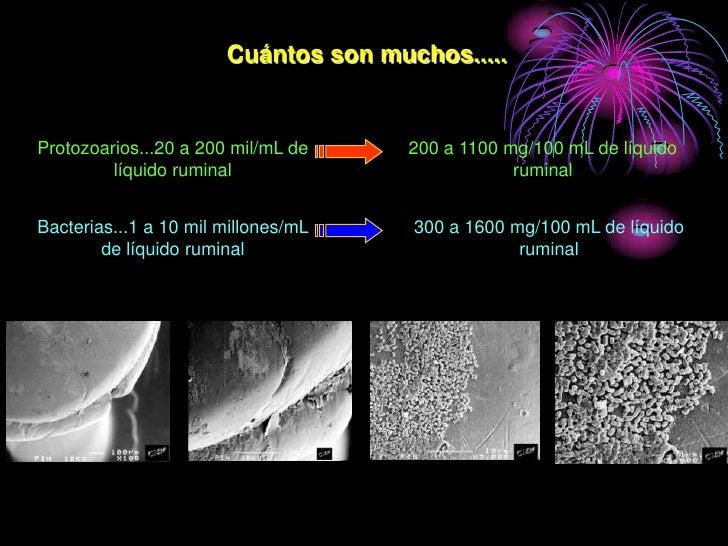 Cuántos son muchos.....   Protozoarios...20 a 200 mil/mL de    200 a 1100 mg/100 mL de líquido          líquido ruminal   ...
