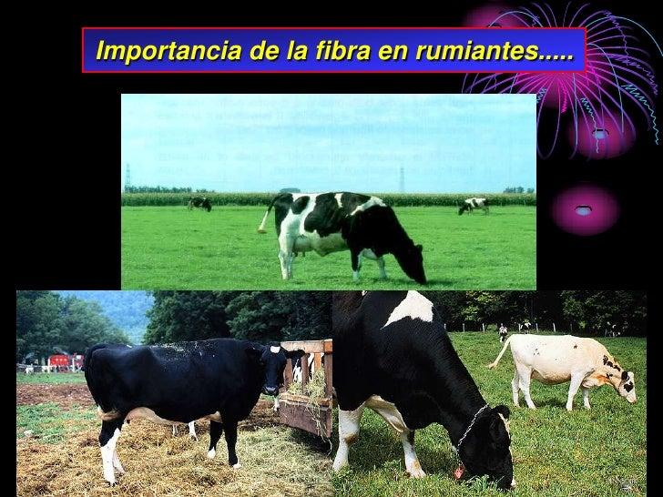 Importancia de la fibra en rumiantes.....