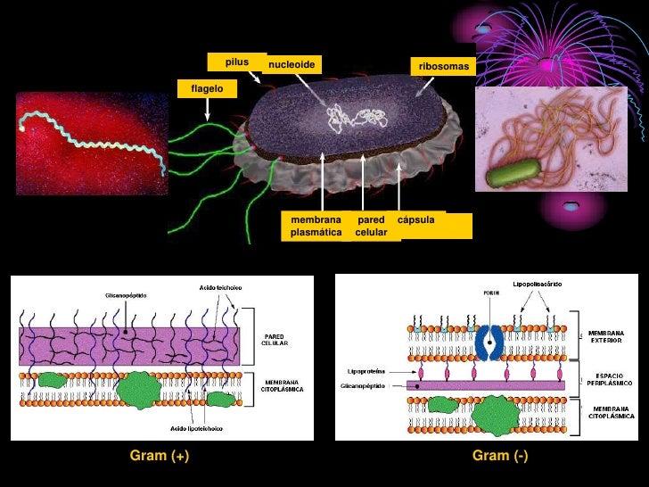 pilus   nucleoide                      ribosomas             flagelo                                      membrana     par...
