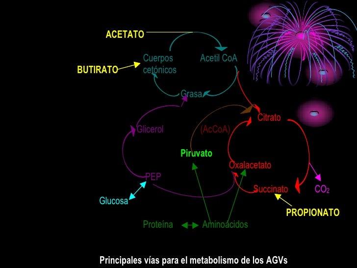 ACETATO                 Cuerpos         Acetil CoA BUTIRATO       cetónicos                             Grasa             ...