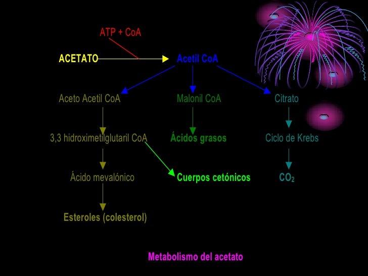 ATP + CoA    ACETATO                            Acetil CoA     Aceto Acetil CoA                   Malonil CoA           Ci...