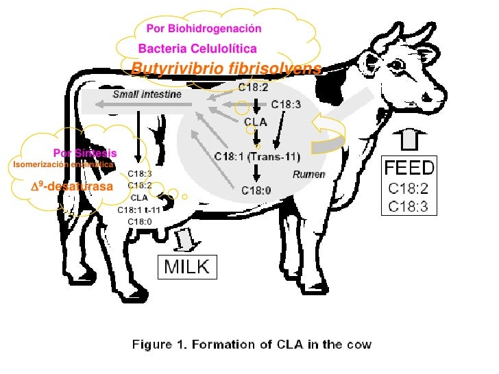 Por Biohidrogenación                             Bacteria Celulolítica                            Butyrivibrio fibrisolven...