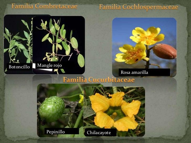 Familia Combretaceae<br />Familia Cochlospermaceae<br />Rosa amarilla<br />FamiliaCucurbitaceae<br />Mangle rojo<br />Boto...
