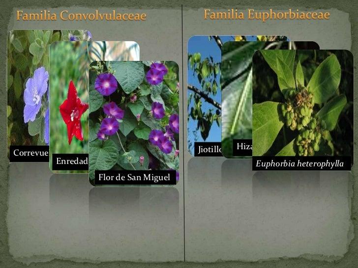 Familia Euphorbiaceae<br />Familia Convolvulaceae<br />Jiotillo<br />Hiza<br />Correvuela<br />Enredadera<br />Flor de San...