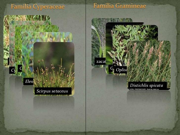 Familia Gramineae<br />Familia Cyperaceae<br />zacate<br />Grama<br />Coquillo<br />Oplismenus hirtellus<br />Cyperus iria...