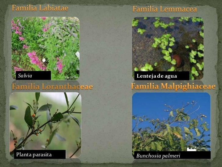Familia Labiatae<br />Familia Lemmacea<br />Familia Loranthaceae<br />Familia Malpighiaceae<br />Lenteja de agua<br />Salv...
