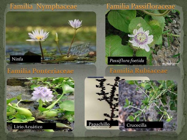 Familia  Nymphaceae<br />Familia Passifloraceae<br />Ninfa<br />Passiflora foetida<br />Familia Rubiaceae <br />Familia Po...