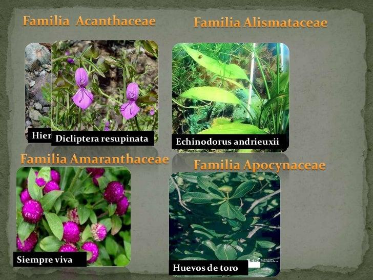 Familia  Acanthaceae<br />Familia Alismataceae<br />Hierba del pollo<br />Dicliptera resupinata<br />Echinodorus andrieuxi...
