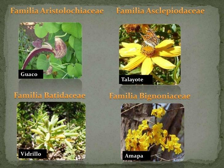 Familia Aristolochiaceae <br />Familia Asclepiodaceae<br />Guaco<br />Talayote<br />Familia Batidaceae<br />Familia Bignon...