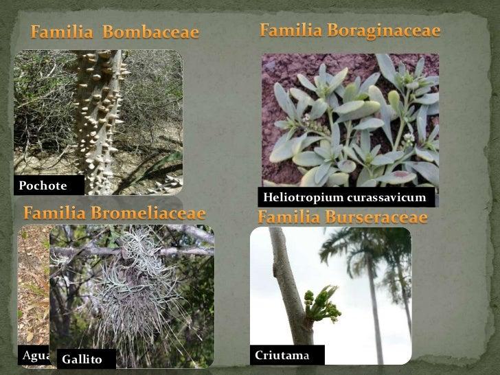 Familia Boraginaceae<br />Familia  Bombaceae<br />Pochote<br />Heliotropium curassavicum<br />Familia Bromeliaceae<br />Fa...