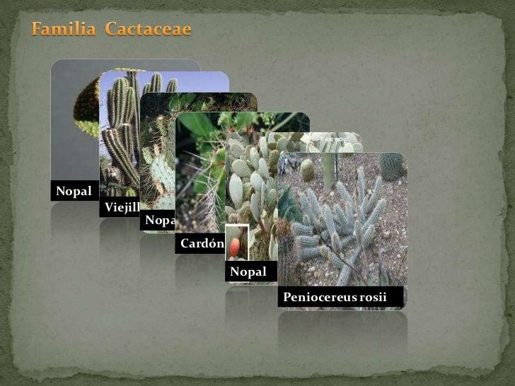 Familia  Cactaceae<br />Nopal<br />Nopal tortuga<br />Viejillo<br />Cardón<br />Nopal<br />Peniocereus rosii<br />