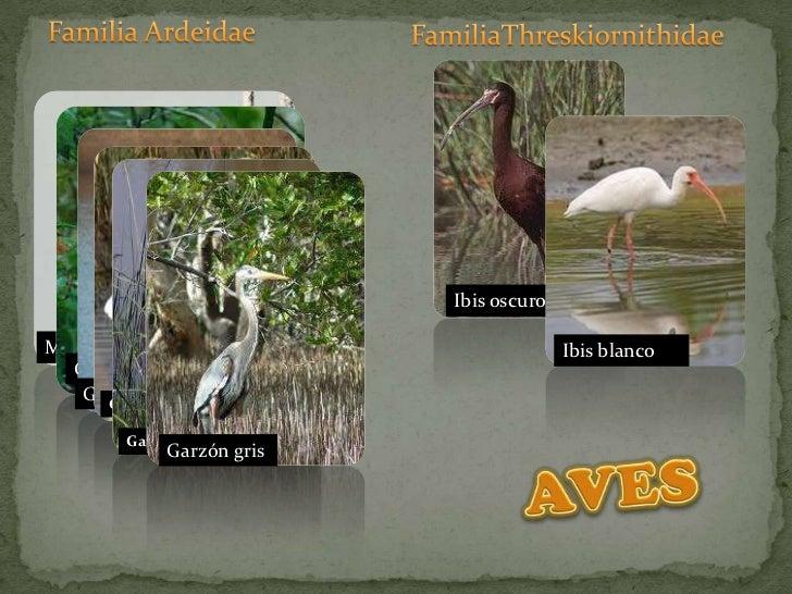 Familia Ardeidae<br />FamiliaThreskiornithidae<br />Ibis oscuro<br />Ibis blanco<br />Martinete<br />Garza nocturna<br />G...