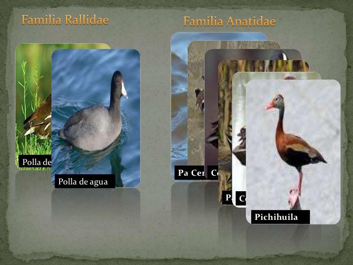 Familia Rallidae<br />Familia Anatidae<br />Cerceta alas azules<br />Polla de agua<br />Pato chalcuán<br />Cerceta alas v...