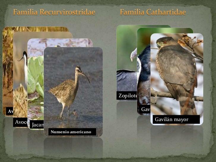 Familia Recurvirostridae<br />Familia Cathartidae<br />Zopilote común<br />Avocetapiquirecta<br />Avoceta<br />Jacana<br ...