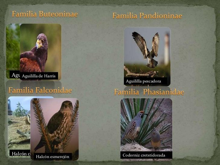 Familia Buteoninae<br />Familia Pandioninae<br />Familia Falconidae<br />Familia  Phasianidae<br />Aguililla gris<br />...